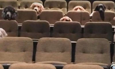 Photo of Adorable Service Dogs in Theater Gets Viral Attention (VIDEO)