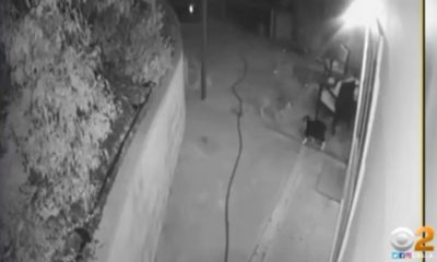 Video: Brave Housecat Fends Off 3 Coyotes
