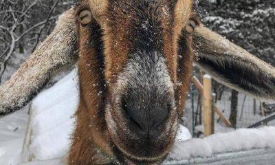Goat Mayor Vermont