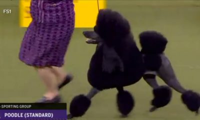 Video: Poodle Wins 'Best in Show' at Westminster