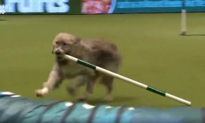 Video: Dog Warms Hearts with Agility Course Antics at Crufts Show
