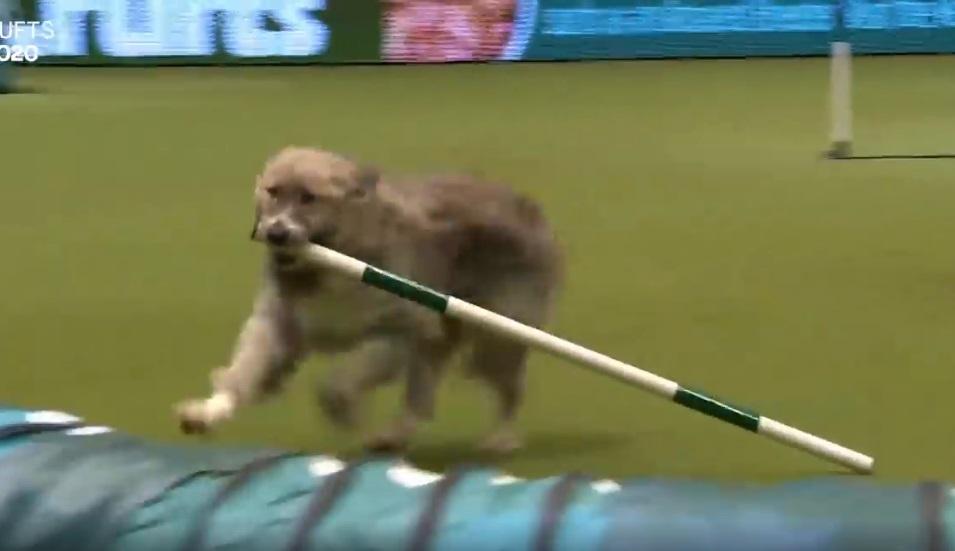 Crufts dog show Kratu