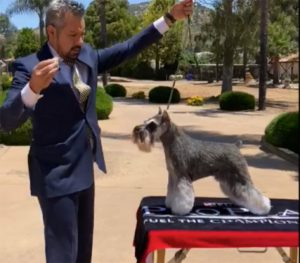 Miniature Schnauzer takes 'Best in Show'