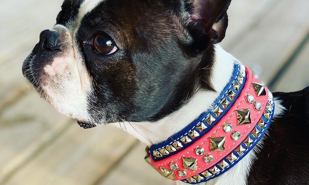 Berzerk the Boston Terrier models a custom collar in her dog sport colors