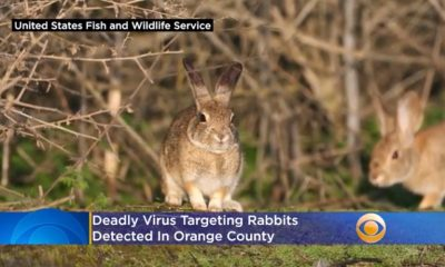 rabbit virus