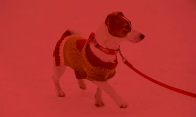 walking dog in holiday clothing