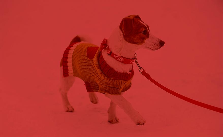 walking dog in holiday clothing
